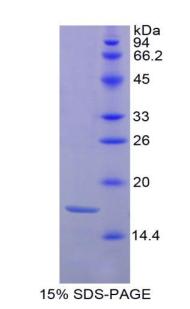 Recombinant Histone H3 (H3)
