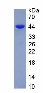 Recombinant Histone H4 (H4)
