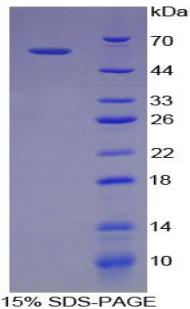 Recombinant Neuronal Pentraxin I (NPTX1)