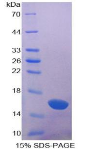 Recombinant Galectin 1 (GAL1)