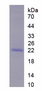 Recombinant Transition Protein 1 (TNP1)