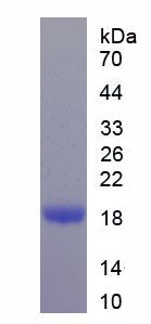 Recombinant Histone H2B (H2B)