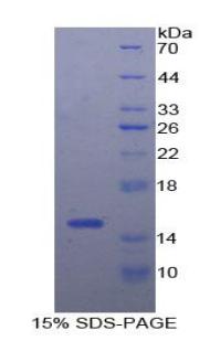 Recombinant Interferon Gamma Induced Protein 10kDa (IP10)