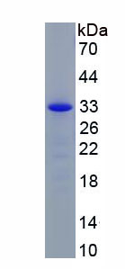 Recombinant GATA Binding Protein 4 (GATA4)