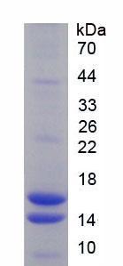 Recombinant Vasoactive Intestinal Peptide (VIP)
