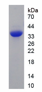 Recombinant Interleukin 27 (IL27)