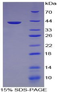 Recombinant Complement Component 3a (C3a)