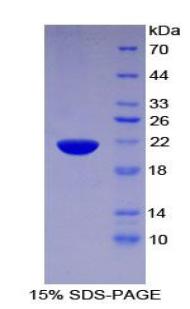 Recombinant Pleckstrin Homology Like Domain Family A, Member 2 (PHLDA2)