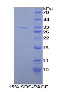 Recombinant Kallikrein 9 (KLK9)