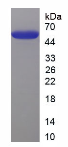 Recombinant Mucin 1 (MUC1)