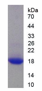 Recombinant Myelin Oligodendrocyte Glycoprotein (MOG)