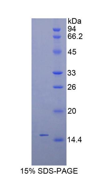 Recombinant Inhibin Beta C (INHbC)