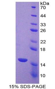 Recombinant Caspase 7 (CASP7)