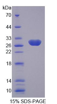 Recombinant Kallikrein 4 (KLK4)