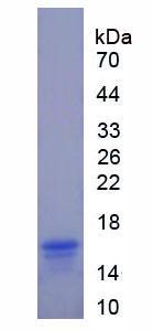 Recombinant N-Terminal Pro-Atrial Natriuretic Peptide (NT-ProANP)