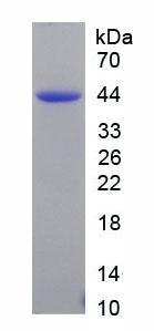 Recombinant Natriuretic Peptide Precursor B (NPPB)