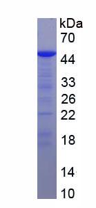 Recombinant Interleukin Enhancer Binding Factor 3 (ILF3)