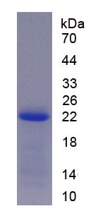 Recombinant Myelin Basic Protein (MBP)