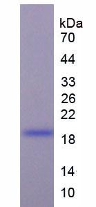 Recombinant Brain Natriuretic Peptide (BNP)