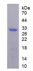 Recombinant Matrix Metalloproteinase 9 (MMP9)