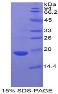 Recombinant Fatty Acid Binding Protein 2, Intestinal (FABP2)