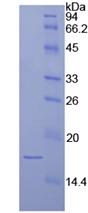 Recombinant Laminin Alpha 1 (LAMA1)
