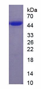Recombinant Aquaporin 3, Gill Blood Group (AQP3)