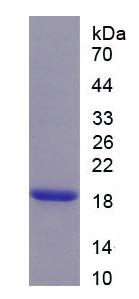 Recombinant Aquaporin 4 (AQP4)