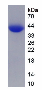 Recombinant Hepatoma Derived Growth Factor (HDGF)