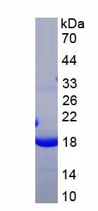 Recombinant Caspase 3 (CASP3)