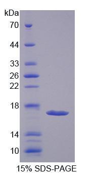 Recombinant Hexosaminidase B Beta (HEXb)
