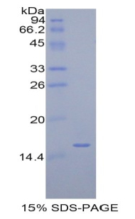 Recombinant Amiloride Binding Protein 1 (ABP1)