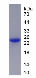 Recombinant Toll Like Receptor 2 (TLR2)