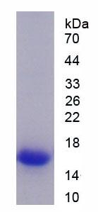 Recombinant Slit Homolog 2 (Slit2)