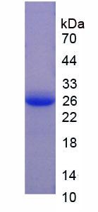 Recombinant Coagulation Factor V (F5)