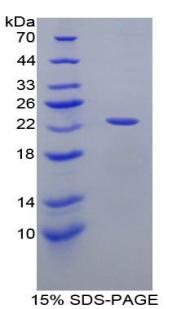Recombinant Apolipoprotein E (APOE)