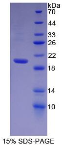 Recombinant Heparanase (HPSE)