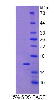 Recombinant C-Type Natriuretic Peptide (CNP)