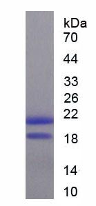 Recombinant Mucin 5 Subtype AC (MUC5AC)