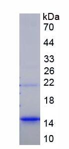 Recombinant Chemokine C-X-C-Motif Ligand 16 (CXCL16)