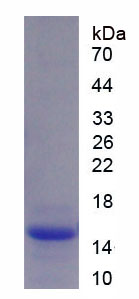Recombinant Haptoglobin (Hpt)