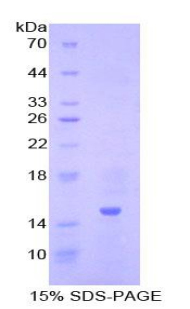 Recombinant Inhibin Beta A (INHbA)