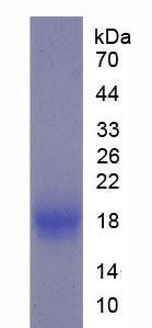 Recombinant Peroxisome Proliferator Activated Receptor Alpha (PPARa)