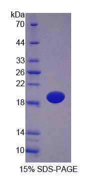 Recombinant Podocin (PDCN)