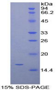 Recombinant Gamma-synuclein (SNCG)