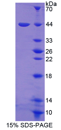 Recombinant Heat Shock Transcription Factor 4 (HSF4)