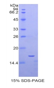 Recombinant Sialoadhesin (SN)