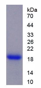 Recombinant Cyclophilin A (CYPA)