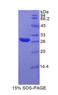 Recombinant Glypican 4 (GPC4)