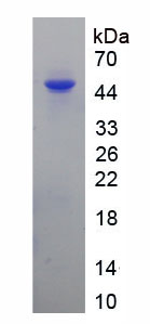 Recombinant Alpha-1-Antichymotrypsin (a1ACT)